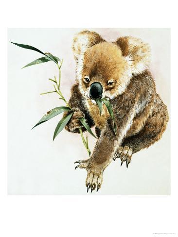 Koala Reproduction procédé giclée