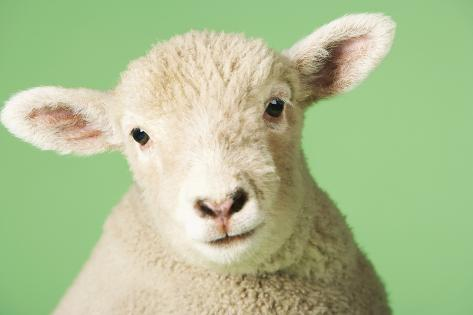 Lamb on Green Background, Close-Up of Head Photographie