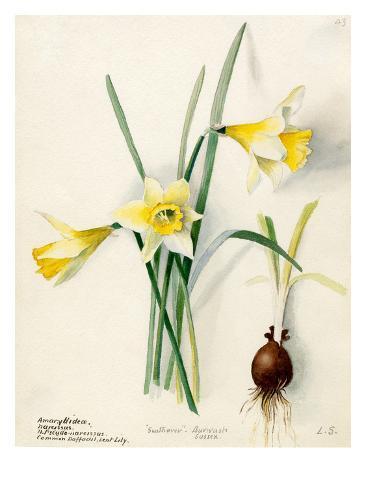 Amaryllidaceae, Narcissus Autre