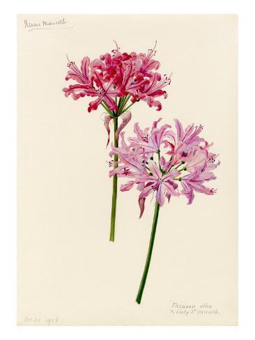 Nerine manselli, flexuosa alba × Lady St Oswald Autre