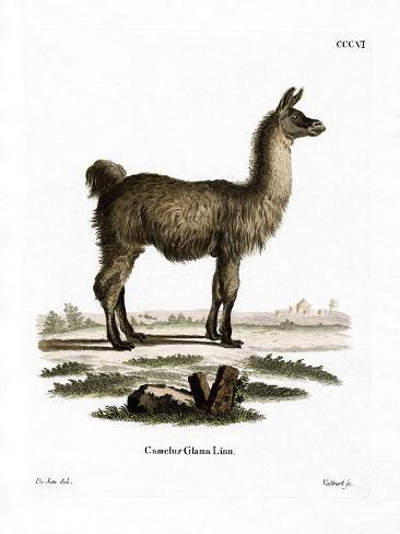 Llama Reproduction procédé giclée