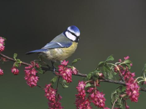 Blue Tit, Perched on Wild Currant Blossom, UK Reproduction photographique
