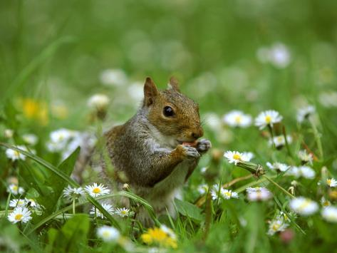 Grey Squirrel Reproduction photographique