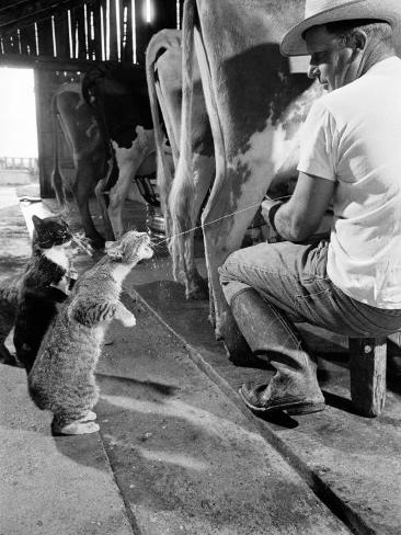Cats Blackie and Brownie Catching Squirts of Milk During Milking at Arch Badertscher's Dairy Farm Reproduction photographique Premium