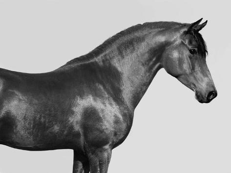 Orpheus, Arab Horse Toile tendue sur châssis