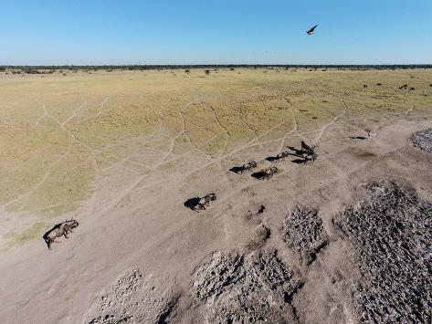 Aerial View of Wildebeest, Khama Rhino Reserve Reproduction photographique