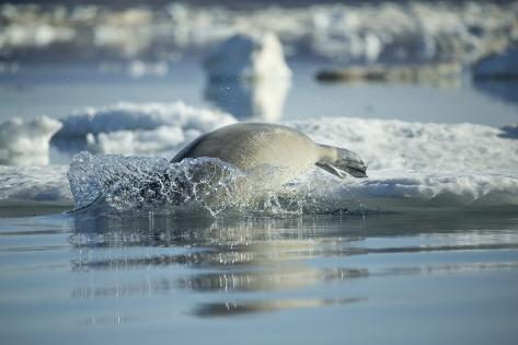 Bearded Seal Dives from Sea Ice in Hudson Bay, Nunavut, Canada Reproduction photographique