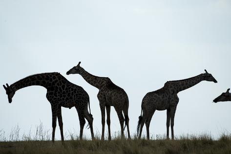 Giraffe Herd, Chobe National Park, Botswana Reproduction photographique