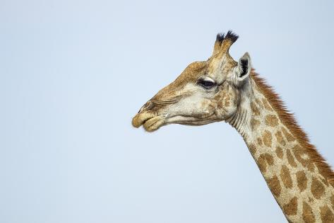 Giraffe, Moremi Game Reserve, Botswana Reproduction photographique