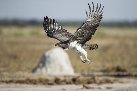 Martial Eagle, Nxai Pan National Park, Botswana Reproduction photographique