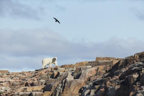 Polar Bear on Harbour Islands, Hudson Bay, Nunavut, Canada Reproduction photographique
