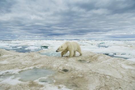 Polar Bear on Hudson Bay Sea Ice, Nunavut Territory, Canada Reproduction photographique