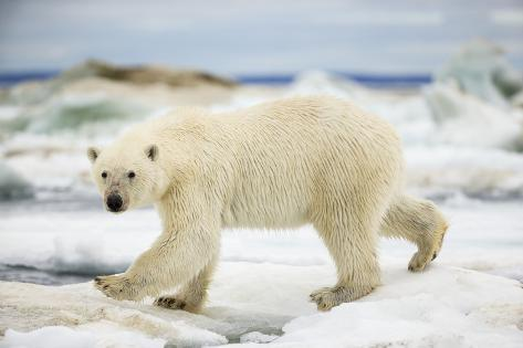 Polar Bear on Hudson Bay Sea Ice, Nunavut Territory, Canada Reproduction photographique