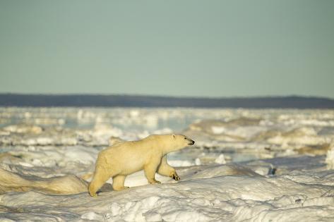 Polar Bear on Pack Ice, Hudson Bay, Nunavut, Canada Reproduction photographique