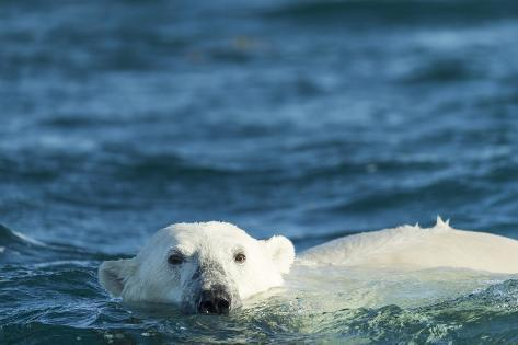 Polar Bear Swimming in Hudson Bay, Nunavut, Canada Reproduction photographique