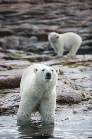 Polar Bears on Harbour Islands, Hudson Bay, Nunavut, Canada Reproduction photographique