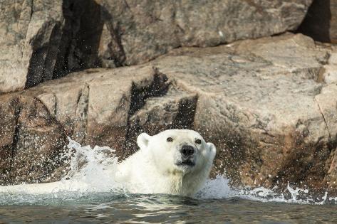 Swimming Polar Bear, Hudson Bay, Nunavut, Canada Reproduction photographique