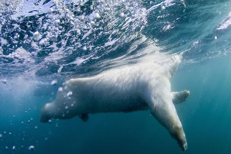 Underwater Polar Bear by Harbour Islands, Nunavut, Canada Reproduction photographique