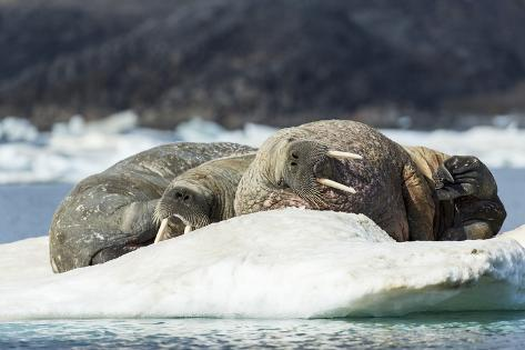 Walrus Sleeping on Ice in Hudson Bay, Nunavut, Canada Reproduction photographique