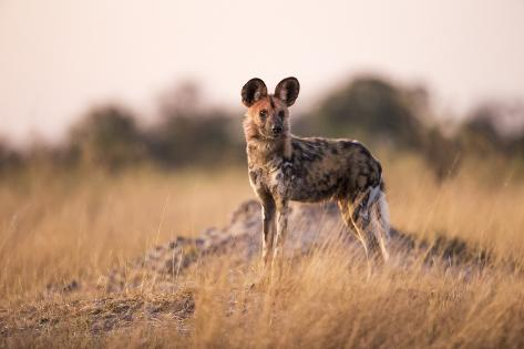 Wild Dog, Moremi Game Reserve, Botswana Reproduction photographique