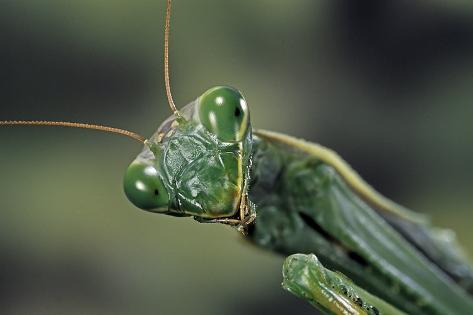 Mantis Religiosa (Praying Mantis) - Reproduction photographique