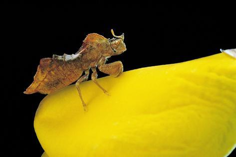 Phymata Crassipes (Assassin Bug, Thread-Legged Bug) Reproduction photographique
