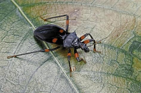 Platymeris Rhadamanthus (Red Spot Assassin Bug) Reproduction photographique