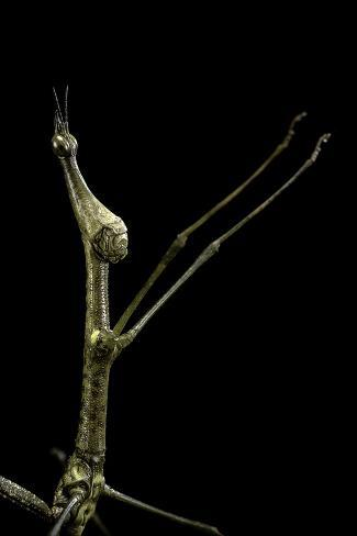 Proscopia Luceomaculata (Stick Grasshopper) Reproduction photographique