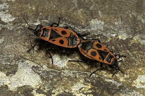 Pyrrhocoris Apterus (Firebug) Mating Reproduction photographique
