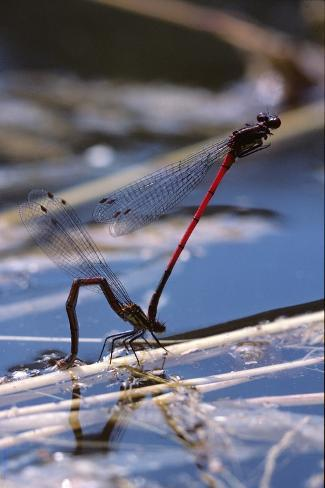 Pyrrhosoma Nymphula (Large Red Damselfly) - Laying Eggs in Aquatic Plants Reproduction photographique