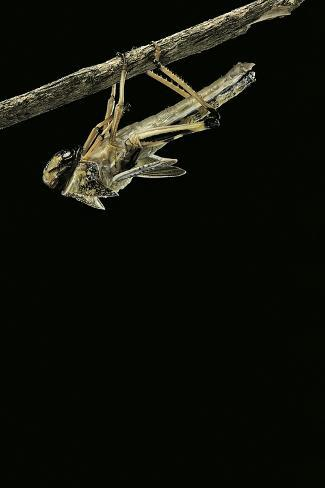 Schistocerca Gregaria (Desert Locust) - Emerging Reproduction photographique