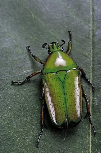 Smaragdesthes Africana (Flower Beetle) Reproduction photographique