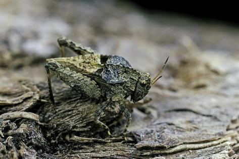 Tetrix Undulata (Common Groundhopper) Reproduction photographique