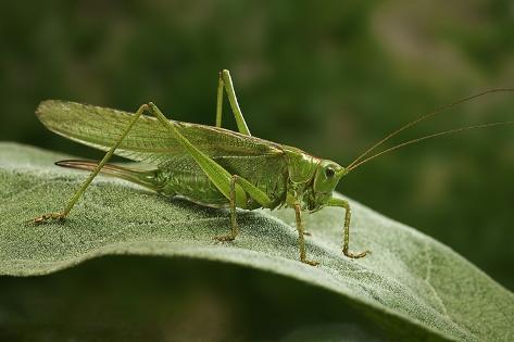 Tettigonia Viridissima (Great Green Bush-Cricket) - Female Reproduction photographique