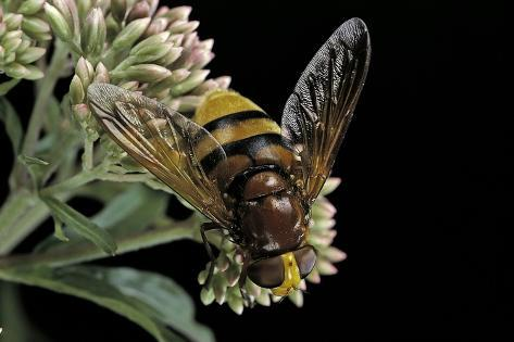 Volucella Zonaria (Hornet Mimic Hoverfly) Reproduction photographique
