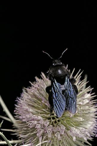 Xylocopa Violacea (Violet Carpenter Bee) Reproduction photographique