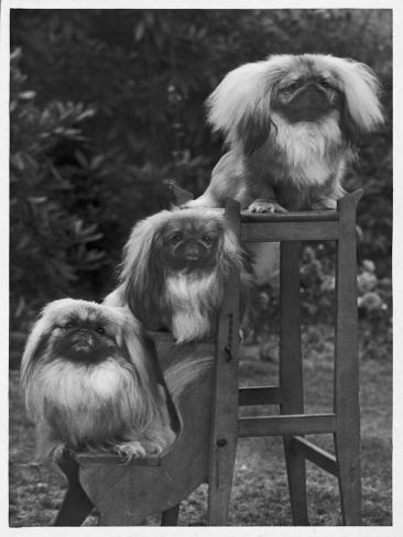 Pekingese 1953 Reproduction photographique