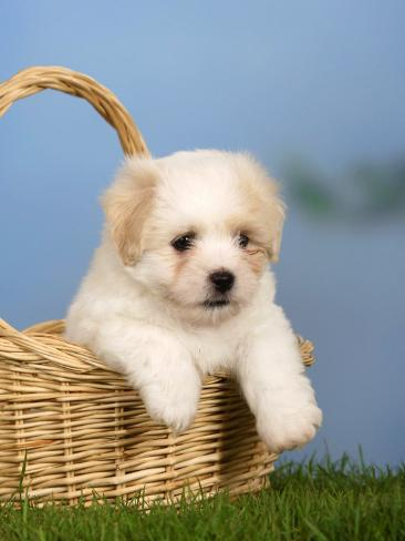 Coton De Tulear Puppy, 6 Weeks, in a Basket Reproduction photographique