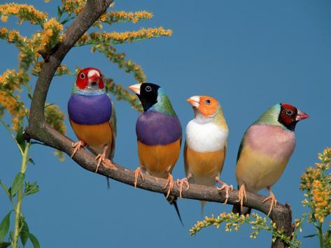 Four Gouldian Finches Reproduction photographique