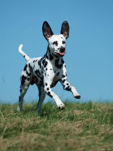 Juvenile Dalmatian Dog Running Outdoors Reproduction photographique