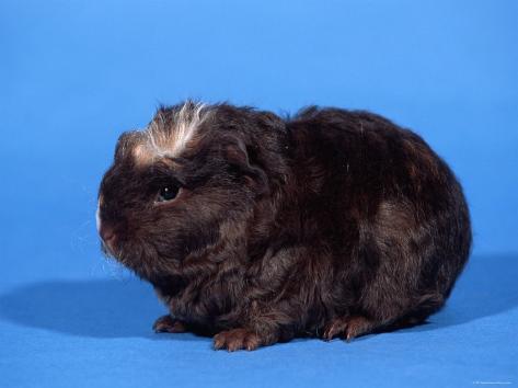 Merino Guinea Pig Reproduction photographique