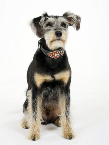 Mixed Breed Dog Sitting Down, One Ear Raised Reproduction photographique