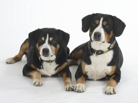 Two Entlebucher Mountain Dogs Lying Down Reproduction photographique