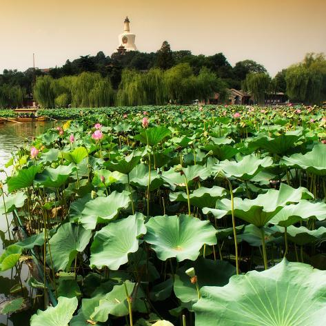 China 10MKm2 Collection - Lotus Flowers - Beihai Park - Beijing Reproduction photographique