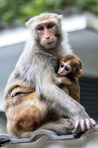 China 10MKm2 Collection - Monkeys Mother and Son Reproduction photographique