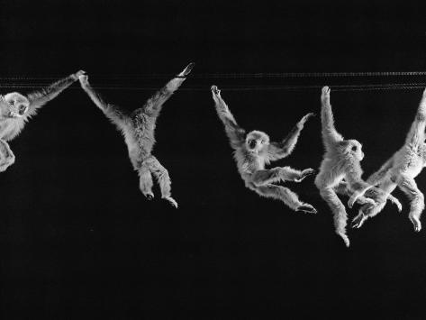 Multiple Exposures of Monkey Swinging Reproduction photographique