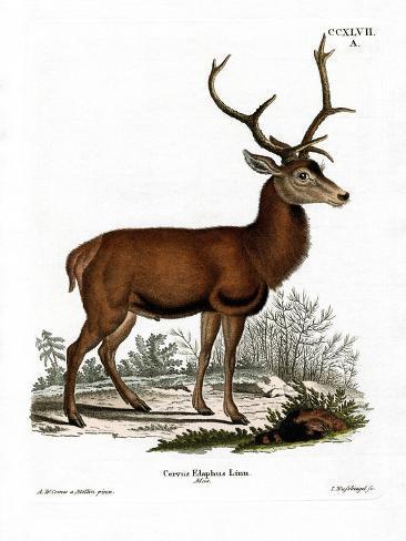 Red Deer Reproduction procédé giclée