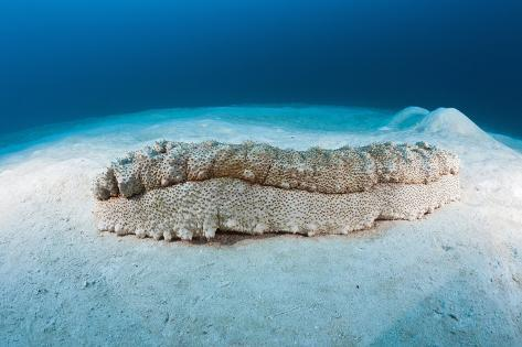 Anax Sea Cucumber (Thelenota Anax) Reproduction photographique