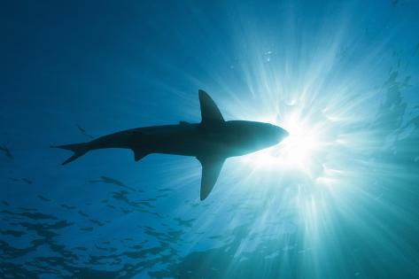 Blacktip Shark (Carcharhinus Limbatus) Reproduction photographique