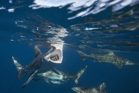Blacktip Sharks (Carcharhinus Limbatus) Reproduction photographique